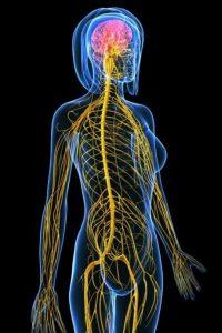 4. Nerv System 14.8.20