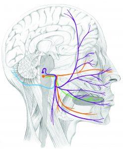 Facial Nerves 26.1 - g5-70-7