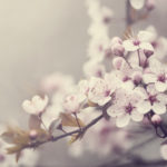 Beautiful spring blossom. Retro style image