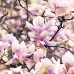 Beautiful magnolia flower in garden