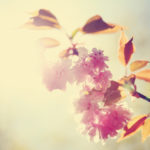 a cherry or ornamental fruit tree blossoming with flowers and buds on a bright sunny day (shallow depth of field) toned with a retro vintage instagram filter effect app or action