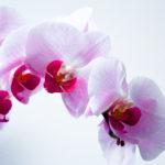orchid - night